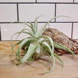 Tillandsia streptophylla チランジア ストレプトフィラ