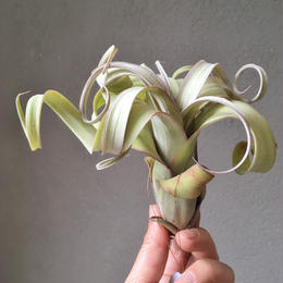 Tillandsia Curly Slim (Intermedia x Streptophylla)