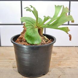 platycerium ridleyi ビカクシダ リドレイ