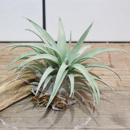 Tillandsia capitata yellow カピタータ イエロー