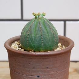 Euphorbia obesa ユーフォルビア オベサ