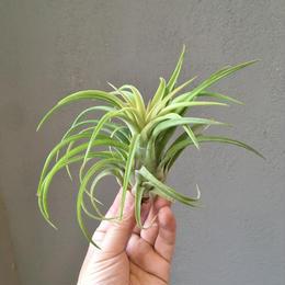 Tillandsia Silberio Sanchez (ionantha x Streptophylla)