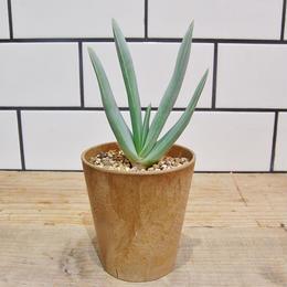 Aloe plicatilis アロエ・プリカティリス