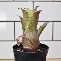 Hohenbergia leopoldo horstii × Sp357 ホヘンベルギア レオポルドホルスティ × SP357