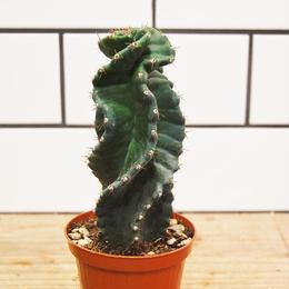 Cereus  'spiralis セレウス スピラリス