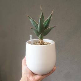Sansevieria pinguicula