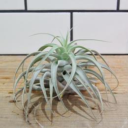 Tillandsia cacticola long form silverカクティコラ ロングフォーム  シルバー