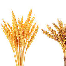 おおきな樹で作った自然栽培の小麦粉(中力粉)500g