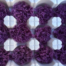カーネーション 紫(パープル)1箱12輪入り