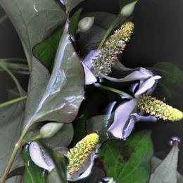 ドクダミの蕾と葉(ドライ)