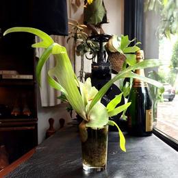 UNION PLANTS  / Platycerium /  Four Roses Glass (No2)