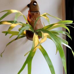 UNION PLANTS / Platycerium / Shoe Tree