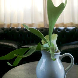 UNION PLANTS / Platycerium / Milk Pitcher 1