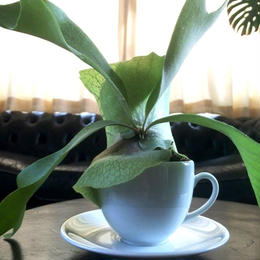 UNION PLANTS / Platycerium / Cup and Saucer