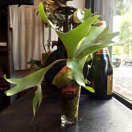 UNION PLANTS  / Platycerium /  Kingfisher Glass
