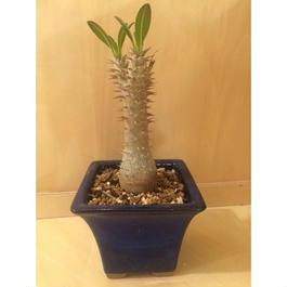 パキポディウム ホロンベンセ 実生  盆栽鉢 5