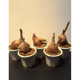 フィランサス ミラビリス 6-10 3.5寸鉢