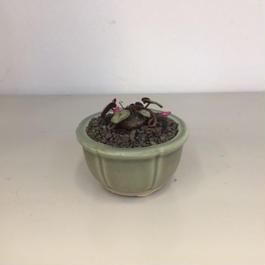 シクラメン コウム 原種 盆栽鉢  1
