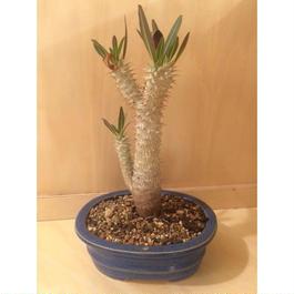 パキポディウム ホロンベンセ 実生  盆栽鉢 4
