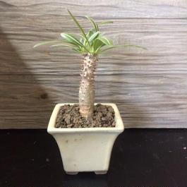 パキポディウム ホロンベンセ 実生  盆栽鉢 2