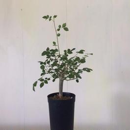 ブルセラ ファガロイデス1