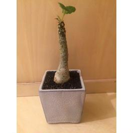 ドルステニア フォエチダ  盆栽鉢  1-2