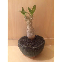 パキポディウム ホロンベンセ 実生  盆栽鉢 1
