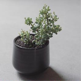 セダム 木立性  ブレビフォリウム Sedum brevifolium