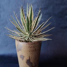アガベ 白糸の王妃錦 Agave filifera v. marginata