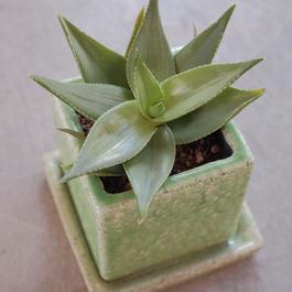 アロエ イビティエンシス  Aloe ibitensia