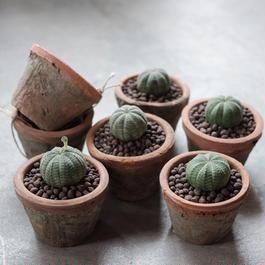 オベサ  Euphorbia Obesa