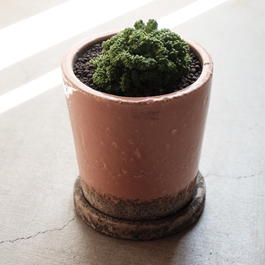 ユーフォルビア・ラクティアクリスタータ  Euphorbia lactea cv. Cristata