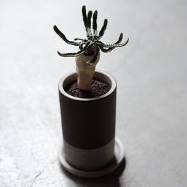 ユーフォルビア・ステラータ Euphorbia stellata