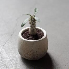 パキポディウム・ホロンベンゼ Pachypodium horombense