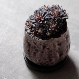 クラッスラ 四馬路  Sinocrassula yunnanensis