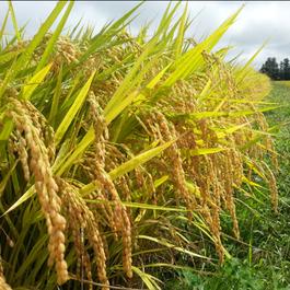 特別栽培米!平成28年産新米「はえぬき」白米5kg/山形県