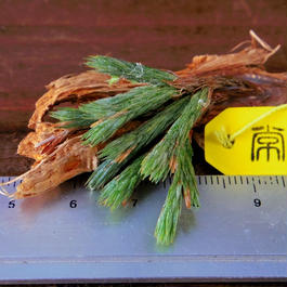 チランジア / ブリオイデス (T.bryoides )