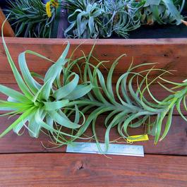 チランジア / ラティフォリア カウレセント (T.latifolia  var.  caulescent)