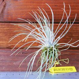 チランジア / プルモーサ (T.plumosa)