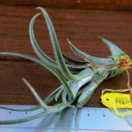 チランジア / プエブレンシス (T.pueblensis)