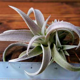 チランジア / チアペンシス (T.chiapensis)