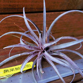 チランジア / カピタータ ドミンゲンシス (T.capitata var. Domingensis)