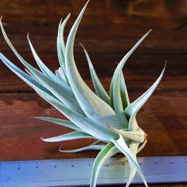 チランジア / カルウィンスキアナ (T.karwinskyana)