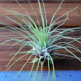 チランジア / フクシー グラシリス (T.fuchsii var. gracilis)