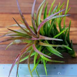 チランジア / テヌイフォリア パープルファン (T.tenuifolia Purple Fan)