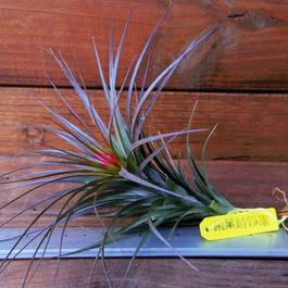 チランジア / テヌイフォリア アメシスト (T.tenuifolia var. amethyst)