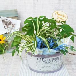 Summer gift /観葉植物寄植 【ミニ観葉3種おまかせ】