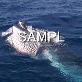 ニタリクジラ(3)