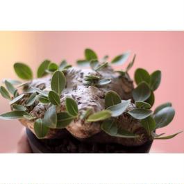 Pachypodium brevicaule パキポディウム  ブレビカウレ 恵比寿笑い