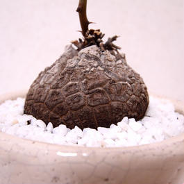亀甲竜 ディオスコレア Dioscorea elephantipes